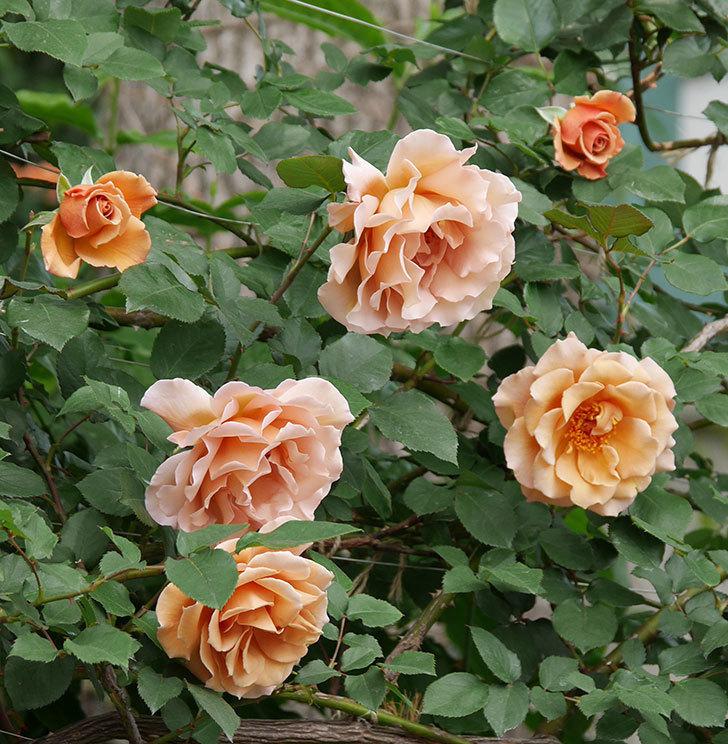 つるジュリア(ツルバラ)がたくさん咲いた。2019年-28.jpg