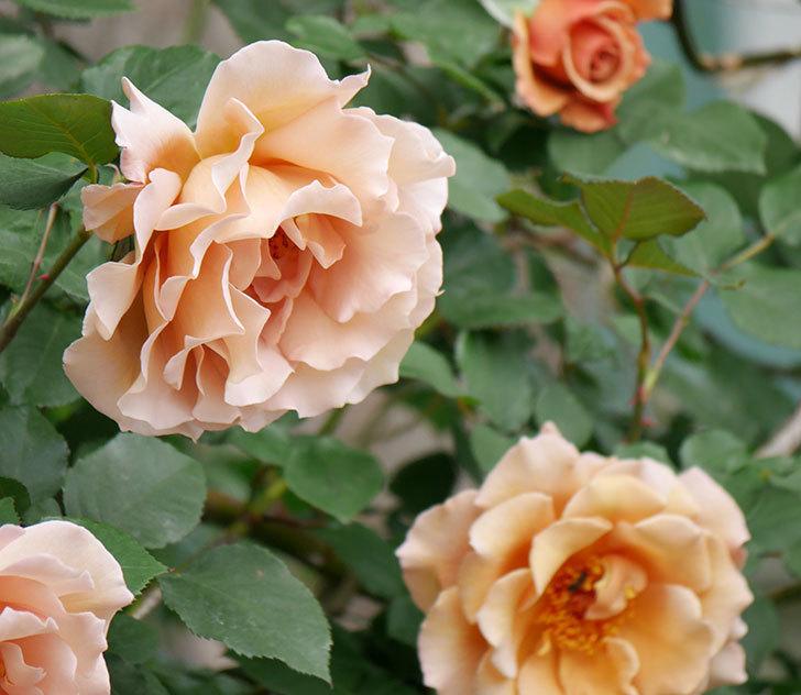 つるジュリア(ツルバラ)がたくさん咲いた。2019年-29.jpg