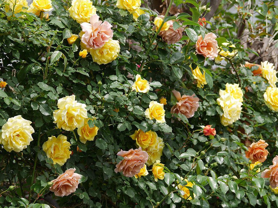 つるジュリア(ツルバラ)がたくさん咲いた。2019年-3.jpg