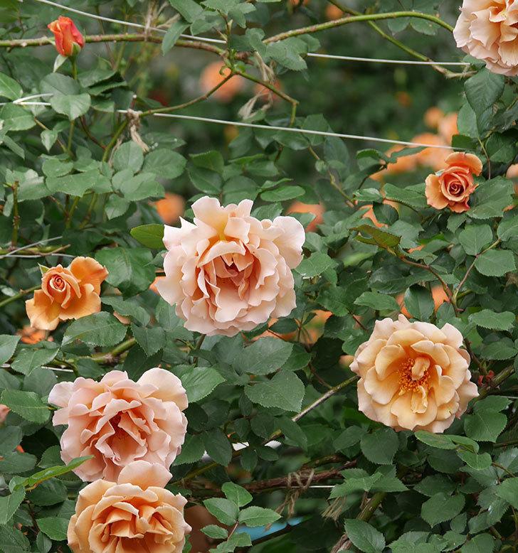 つるジュリア(ツルバラ)がたくさん咲いた。2019年-30.jpg