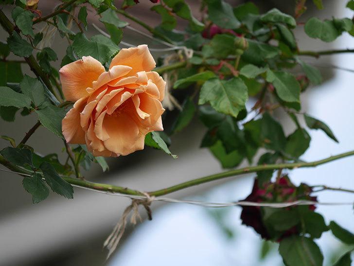 つるジュリア(ツルバラ)がたくさん咲いた。2019年-32.jpg