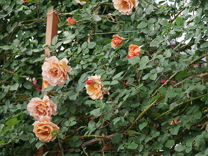 つるジュリア(ツルバラ)がたくさん咲いた。2019年-33.jpg