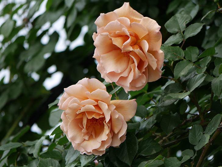 つるジュリア(ツルバラ)がたくさん咲いた。2019年-34.jpg