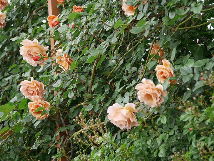 つるジュリア(ツルバラ)がたくさん咲いた。2019年-35.jpg