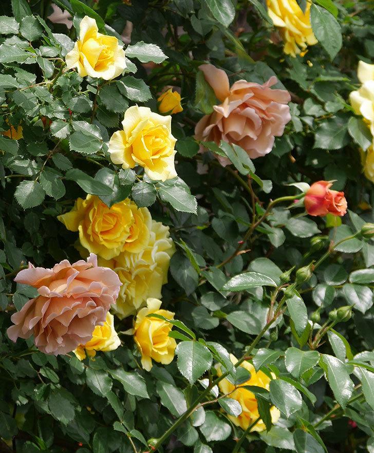 つるジュリア(ツルバラ)がたくさん咲いた。2019年-4.jpg