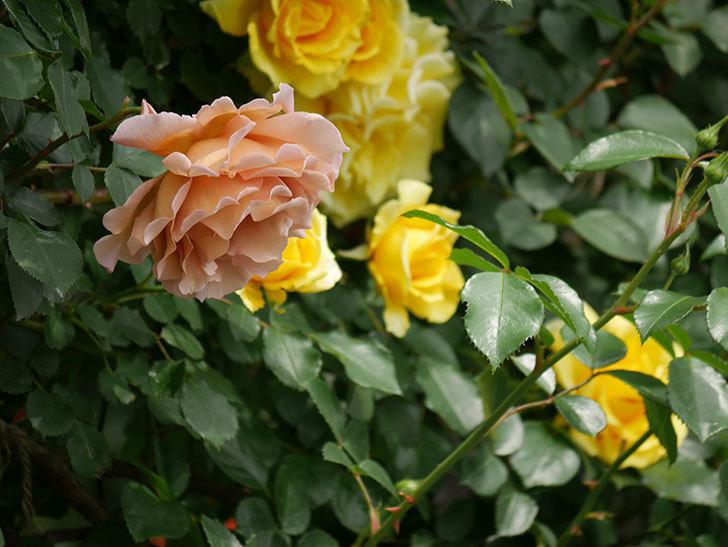 つるジュリア(ツルバラ)がたくさん咲いた。2019年-7.jpg