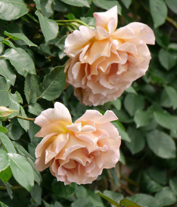 つるジュリア(ツルバラ)がたくさん咲いた。2019年-8.jpg