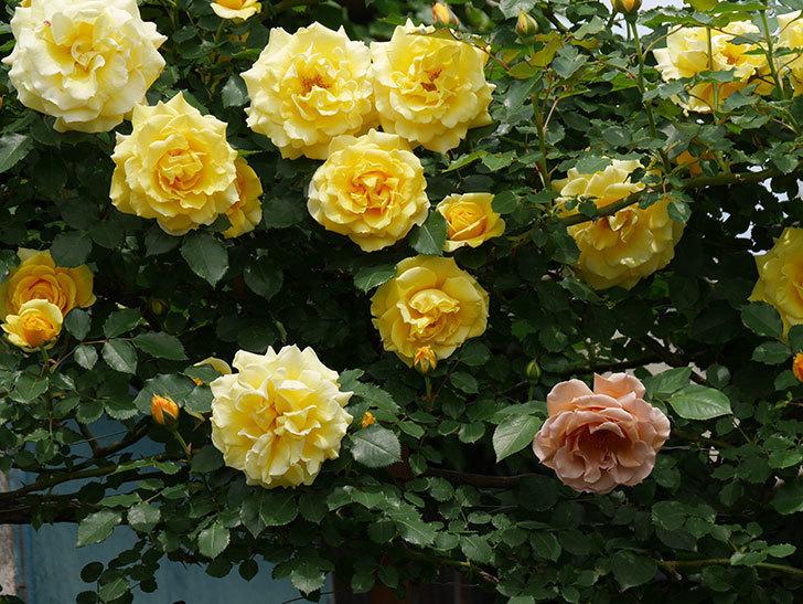 つるジュリア(ツルバラ)がたくさん咲いた。2019年-9.jpg
