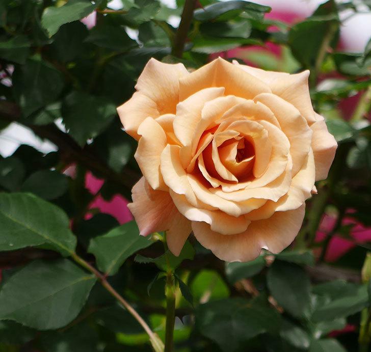 つるジュリア(ツルバラ)がまた咲いた。2018年-1.jpg