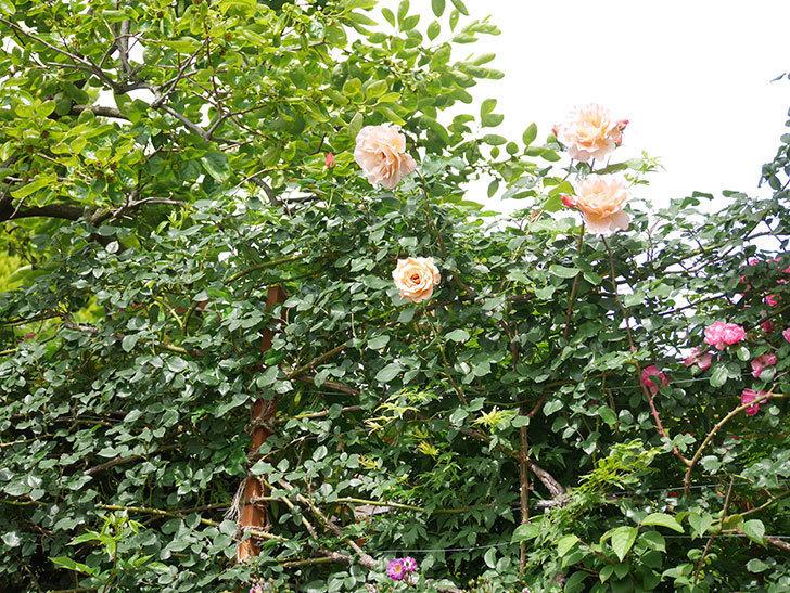 つるジュリア(ツルバラ)がまた咲いた。2018年-5.jpg