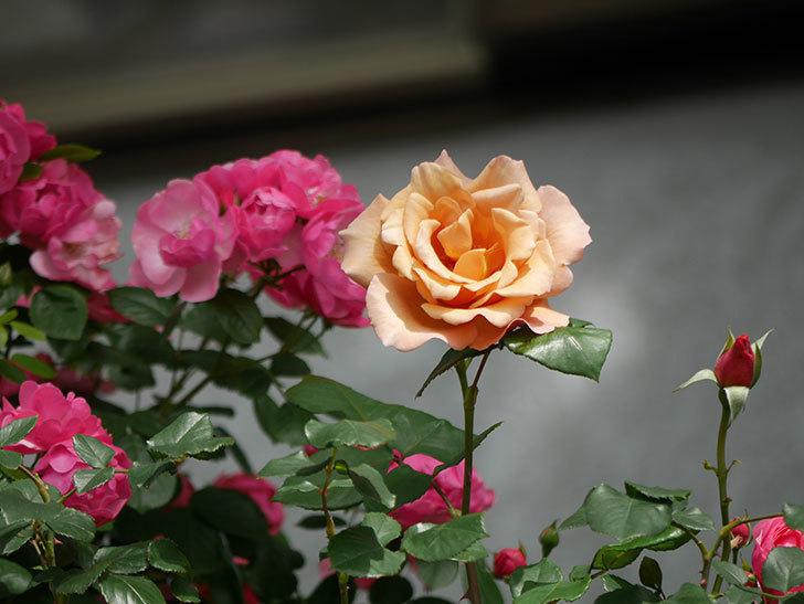 つるジュリア(ツルバラ)がまた咲いた。2018年-6.jpg