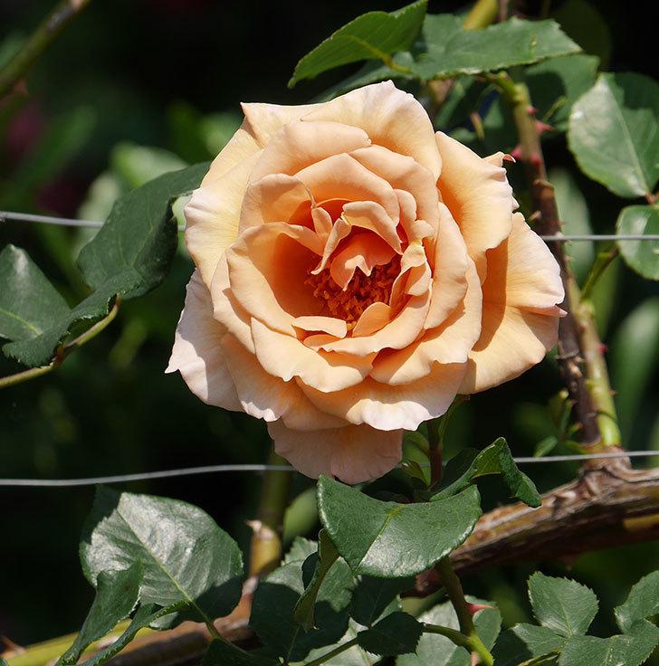 つるジュリア(ツルバラ)がまた咲いた。2019年-1.jpg