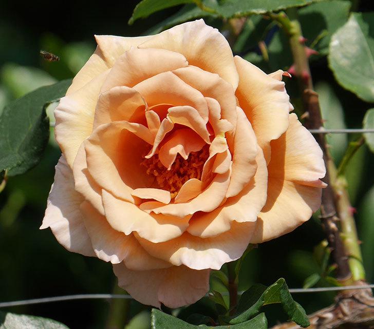 つるジュリア(ツルバラ)がまた咲いた。2019年-2.jpg