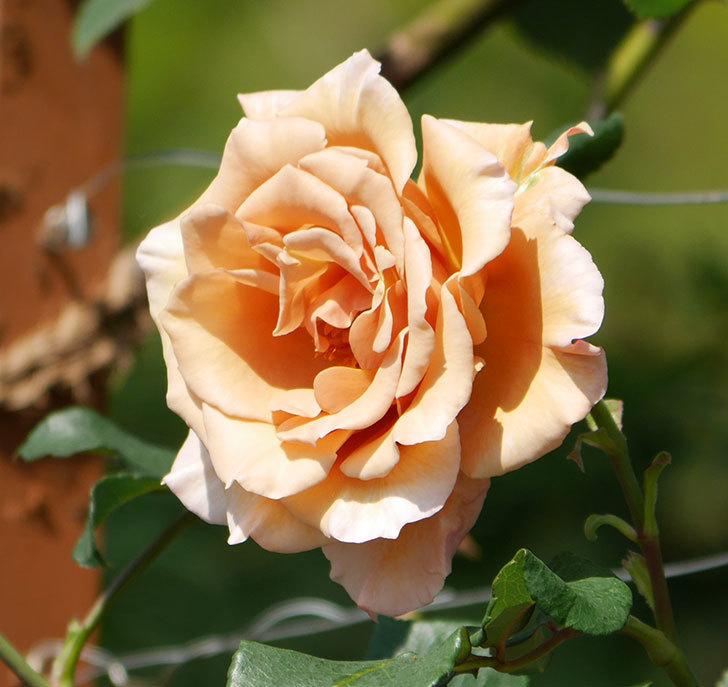 つるジュリア(ツルバラ)がまた咲いた。2019年-4.jpg