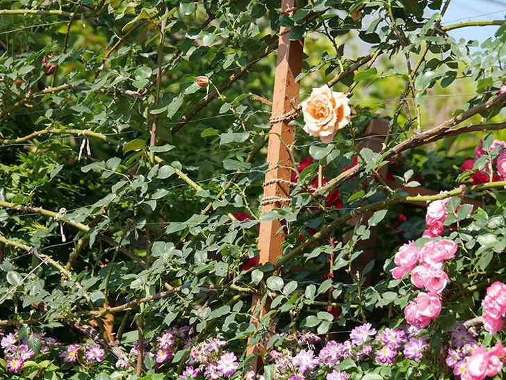 つるジュリア(ツルバラ)がまた咲いた。2019年-5.jpg