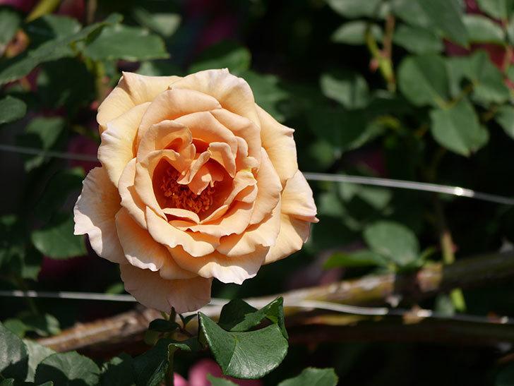 つるジュリア(ツルバラ)がまた咲いた。2019年-6.jpg