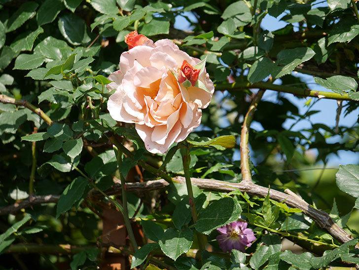 つるジュリア(ツルバラ)がまた咲いた。2019年-7.jpg