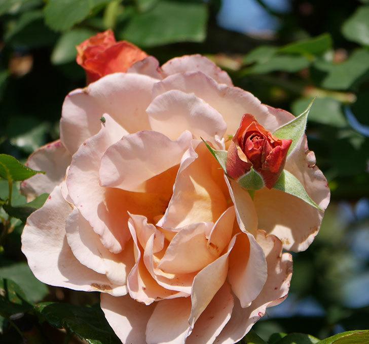つるジュリア(ツルバラ)がまた咲いた。2019年-8.jpg