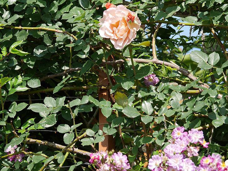 つるジュリア(ツルバラ)がまた咲いた。2019年-9.jpg
