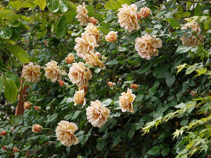つるジュリア(ツルバラ)が大量に咲いた。2017年-1.jpg