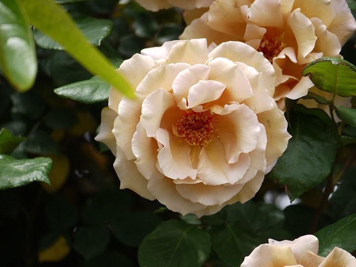 つるジュリア(ツルバラ)が大量に咲いた。2017年-10.jpg