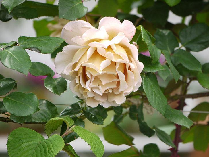 つるジュリア(ツルバラ)が大量に咲いた。2017年-11.jpg