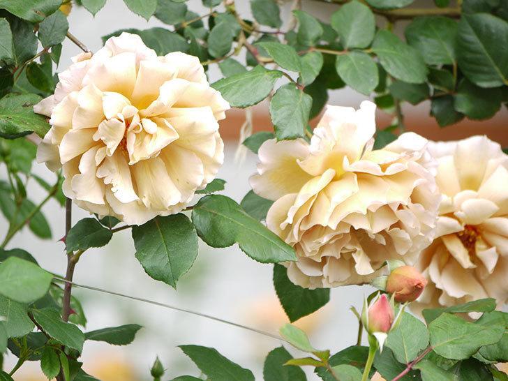 つるジュリア(ツルバラ)が大量に咲いた。2017年-12.jpg