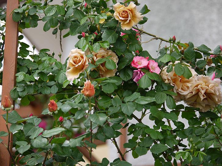 つるジュリア(ツルバラ)が大量に咲いた。2017年-14.jpg