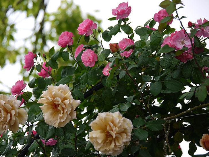 つるジュリア(ツルバラ)が大量に咲いた。2017年-15.jpg
