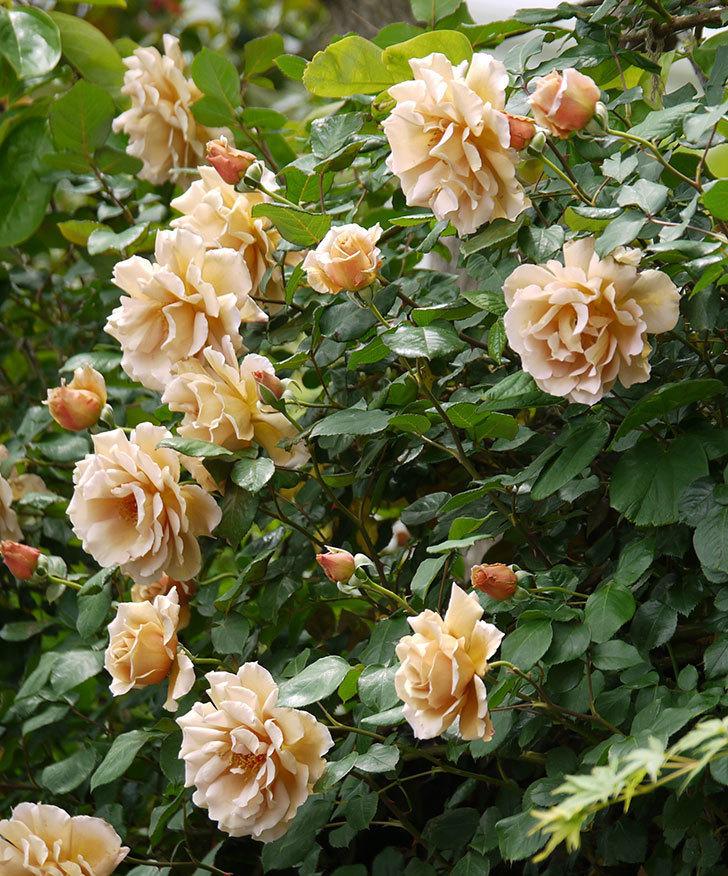 つるジュリア(ツルバラ)が大量に咲いた。2017年-16.jpg