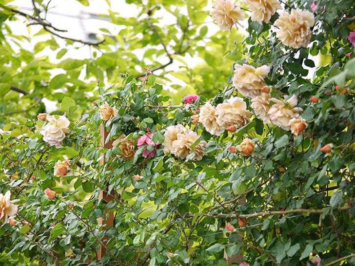 つるジュリア(ツルバラ)が大量に咲いた。2017年-17.jpg
