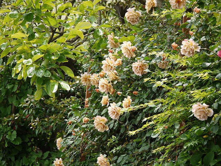 つるジュリア(ツルバラ)が大量に咲いた。2017年-19.jpg