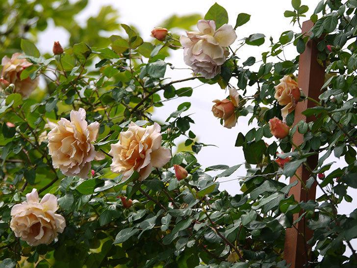 つるジュリア(ツルバラ)が大量に咲いた。2017年-2.jpg