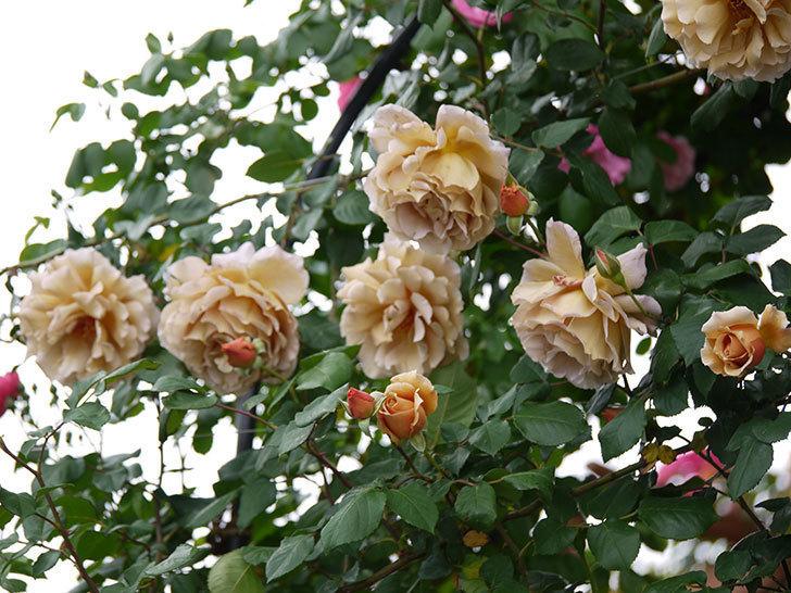 つるジュリア(ツルバラ)が大量に咲いた。2017年-3.jpg