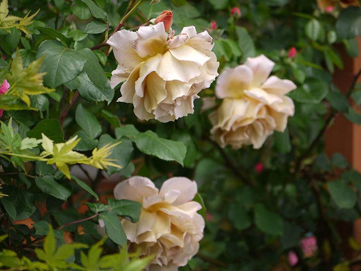 つるジュリア(ツルバラ)が大量に咲いた。2017年-4.jpg