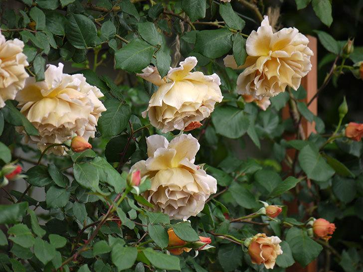 つるジュリア(ツルバラ)が大量に咲いた。2017年-5.jpg
