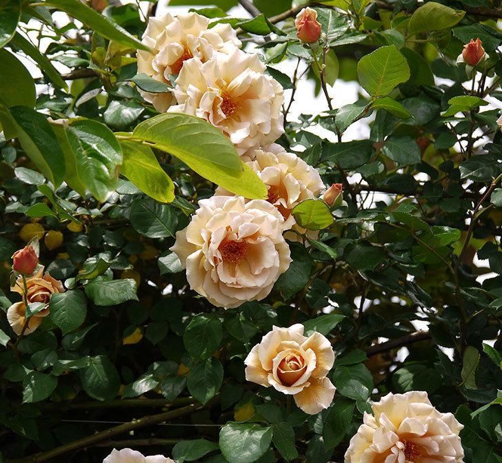 つるジュリア(ツルバラ)が大量に咲いた。2017年-6.jpg