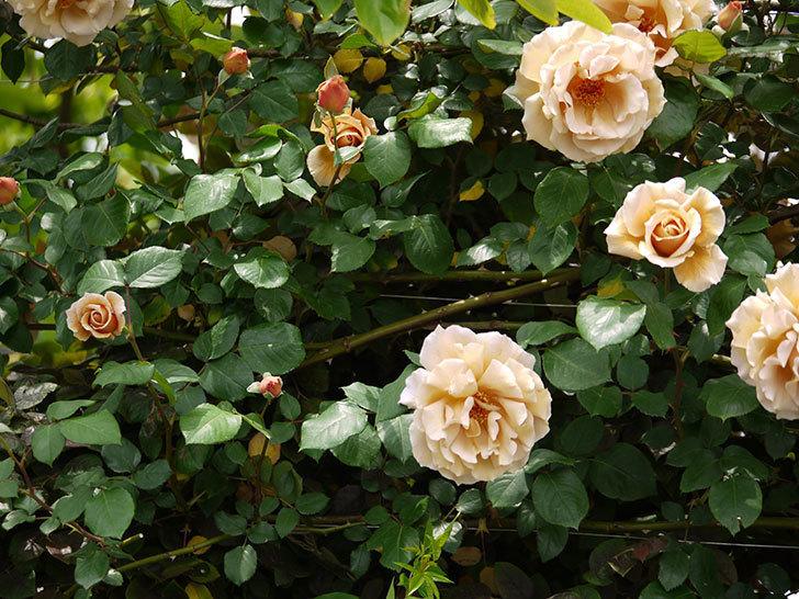 つるジュリア(ツルバラ)が大量に咲いた。2017年-7.jpg