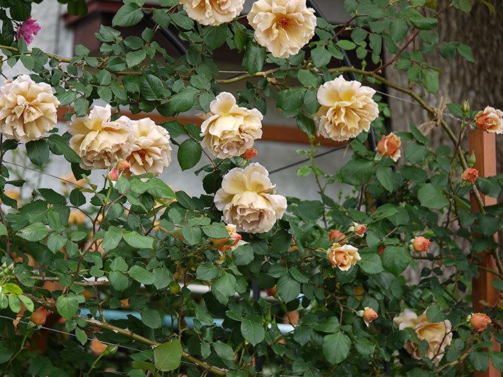 つるジュリア(ツルバラ)が大量に咲いた。2017年-9.jpg