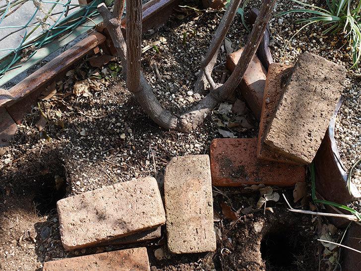 つるジュリア(ツルバラ)に寒肥を施した。2019年-3.jpg