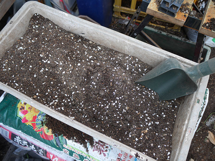 つるジュリア(ツルバラ)に寒肥を施した。2019年-4.jpg