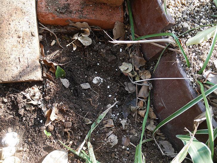 つるジュリア(ツルバラ)に寒肥を施した。2019年-7.jpg