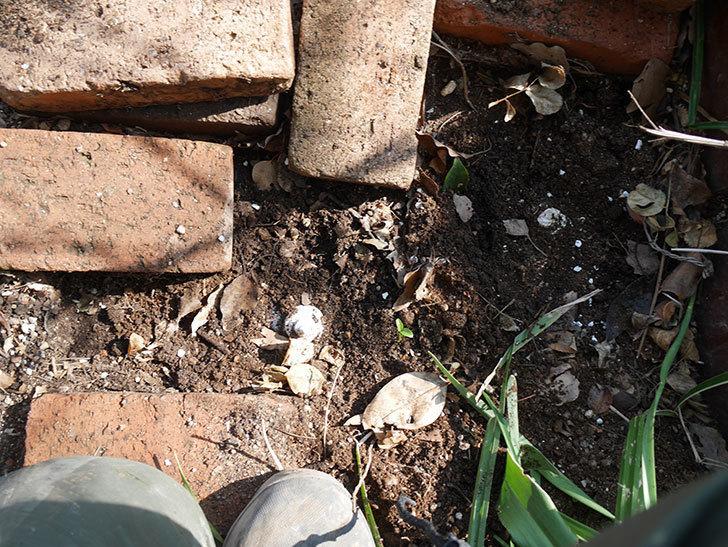 つるジュリア(ツルバラ)に寒肥を施した。2019年-8.jpg