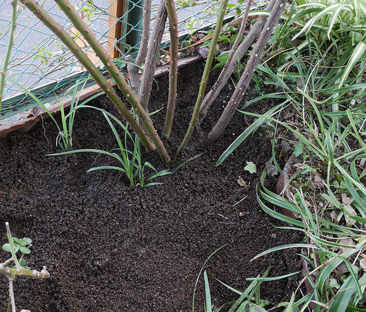 つるジュリア(ツルバラ)に寒肥を施した。2020年-10.jpg