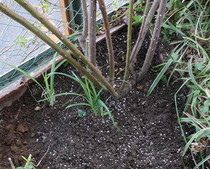 つるジュリア(ツルバラ)に寒肥を施した。2020年-8.jpg