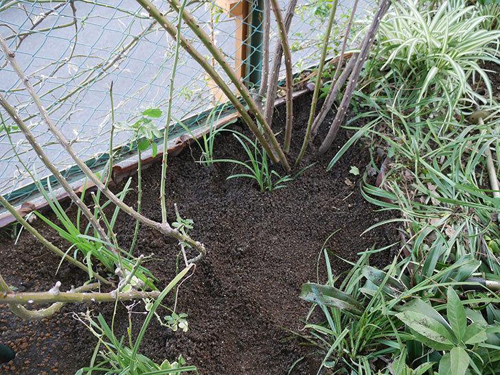 つるジュリア(ツルバラ)に寒肥を施した。2020年-9.jpg