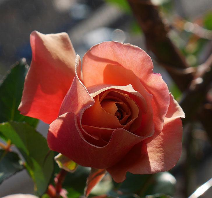 つるジュリア(ツルバラ)に濃いオレンジの花が咲いた。2020年-1.jpg