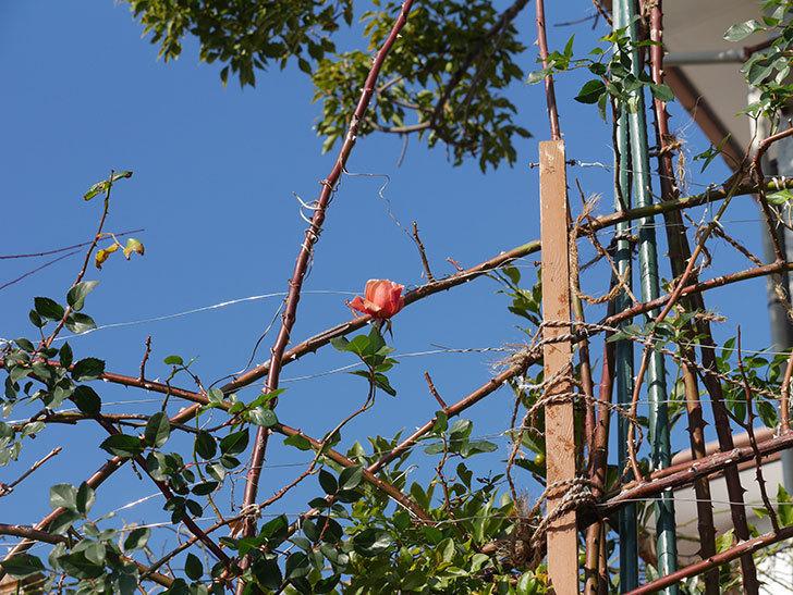 つるジュリア(ツルバラ)に濃いオレンジの花が咲いた。2020年-8.jpg