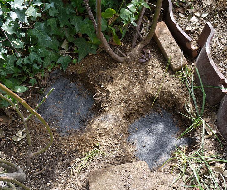 つるジュリア(ツルバラ)に穴を掘って寒肥をやった。2017年-1.jpg