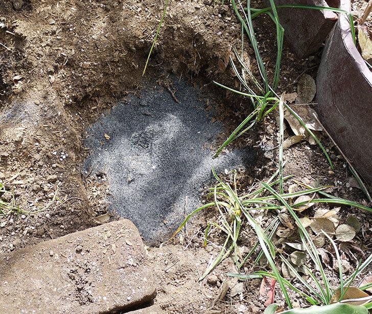 つるジュリア(ツルバラ)に穴を掘って寒肥をやった。2017年-10.jpg